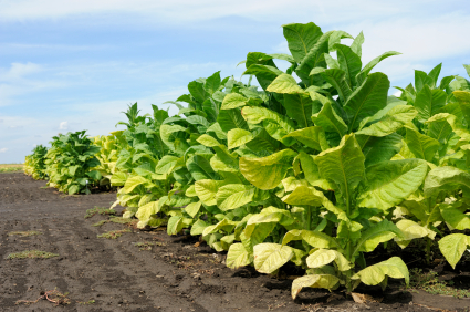 Image result for tobacco plant