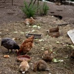 How Micro Livestock Can Be Used For Suburban and Rural Sustainability