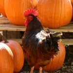 Pumpkin Seed Treats for Chickens