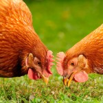 10 Foods You Should Not Feed Your Chickens