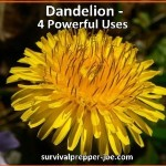 Dandelions – 4 Powerful Uses