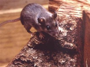 Hantavirus: Clearing Up After a Rodent Infestation