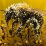 Beemageddon: Syngenta Wants an Increase in Pesticide Levels