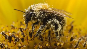 Beemageddon: Syngenta Want Increase in Pesticide Levels