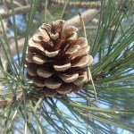 Did you know pine trees can be used as food, medicine and survival equipment?