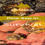 16 Uses of Sticky Pine Sap for Wilderness Survival and Self-Reliance