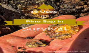 16-uses-for-pine-sap