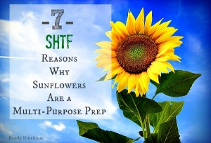 7 SHTF Reasons Why Sunflowers Are a Multi-Purpose Prep