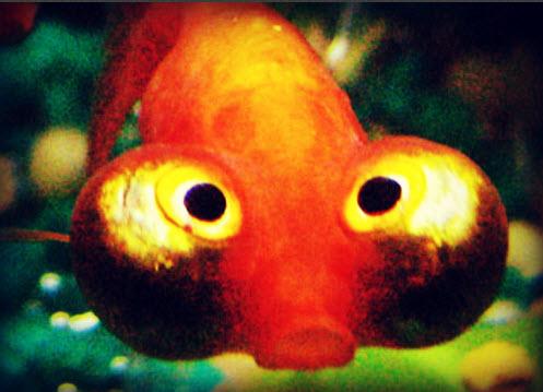 Study goldfish attention span