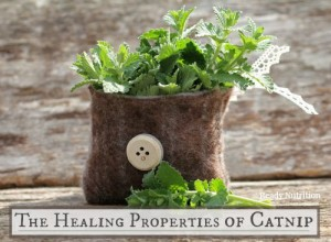 The Healing Properties of Catnip