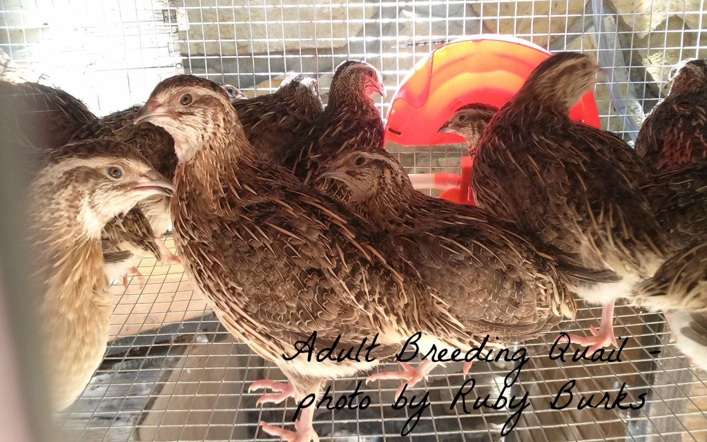 Sustainable Farming: Starting a Quail Flock | Ready ...