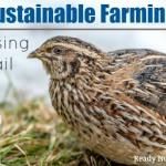 Sustainable Farming: Raising Quail