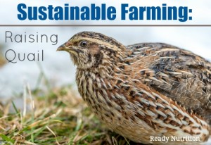 Sustainable Farming: Raising Quail