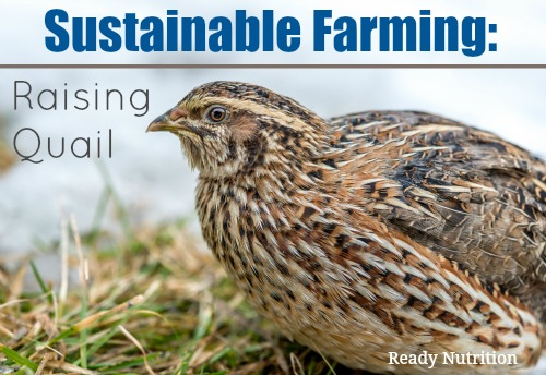 Sustainable Farming: Raising Quail | Survival Raising Quail