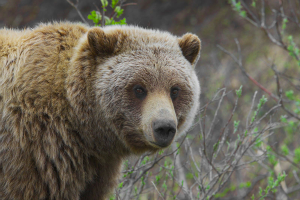 What Should You Do When a Bear Attacks?