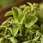Oregano: A True Herbal Goldmine for the Natural Medicine Chest