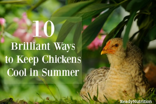 10 brilliant ways to keep chickens cool in summer ready nutrition official website healthy. Black Bedroom Furniture Sets. Home Design Ideas