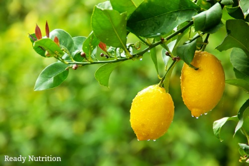Grow Your Own Lemon Tree Ready Nutrition Official