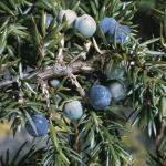 How To Use Juniper Berries in Herbal Medicine