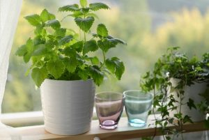 3 Medicinal Herbs You Can Grow Indoors