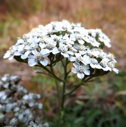 Yarrow isn't as well-known as other medicinal herbs such as echinacea or peppermint, but it's nonetheless a useful tool for a more natural approach to health and wellness. Yarrow's uses range from aiding in clearing blood clots to menstrual issues. It can also be used cosmetically!