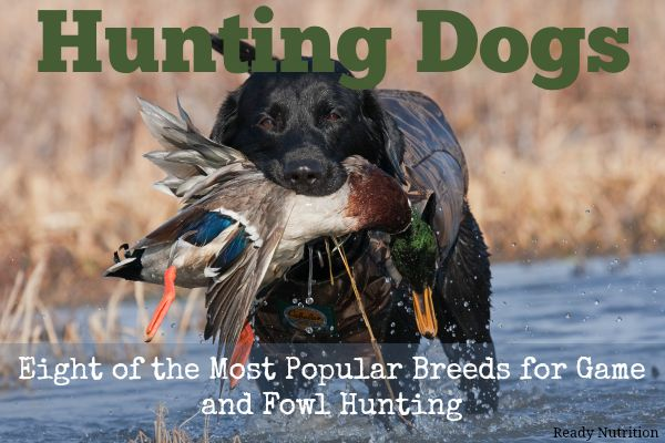 Hunting Dogs: Eight of the Most Popular Breeds for Game and Fowl Hunting