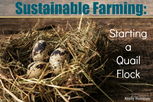 Sustainable Farming: Starting a Quail Flock