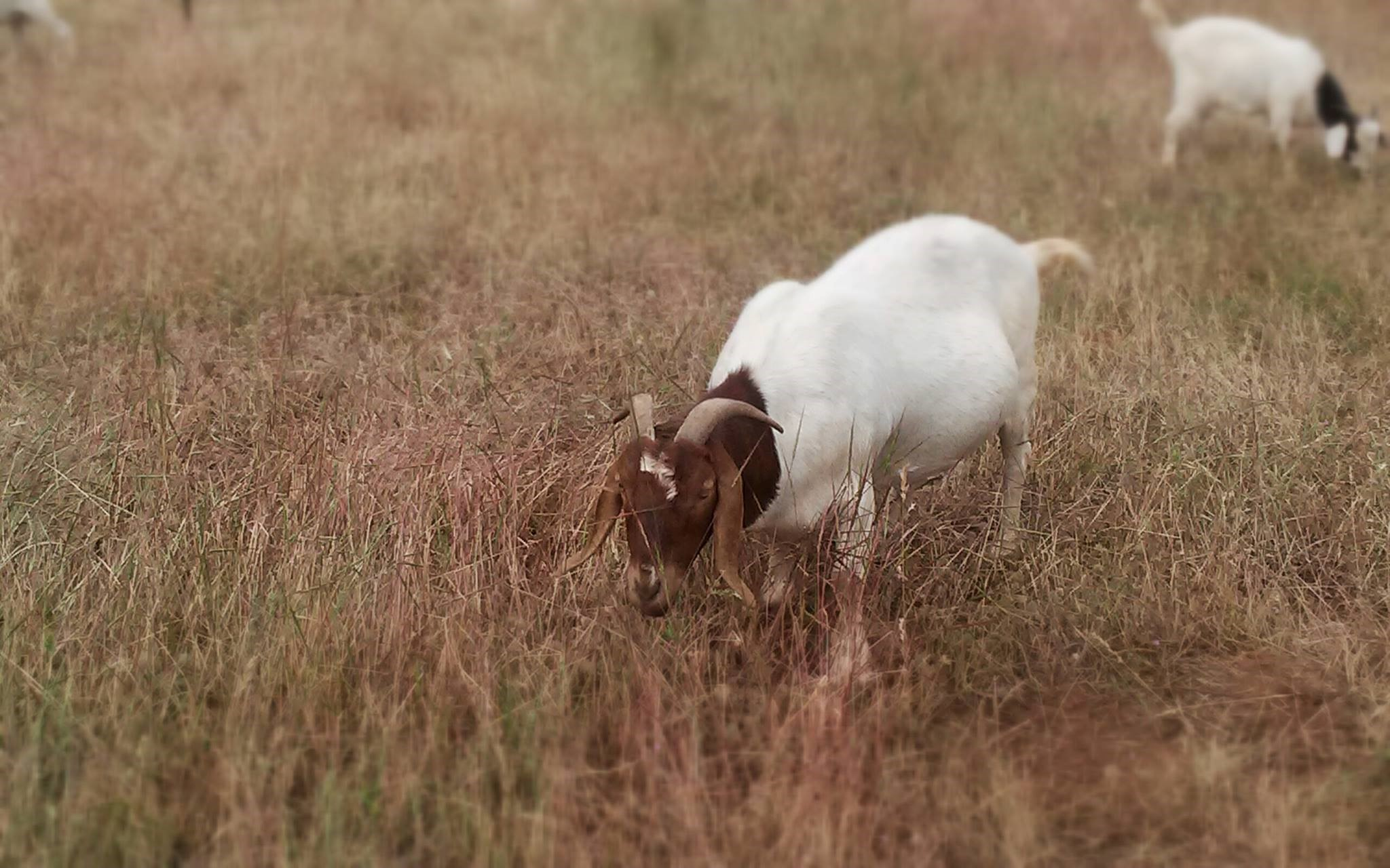 So, You Want a Goat? Here Are the Challenges You'll Face