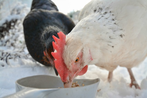 How to Ferment Feed for Healthier Chickens