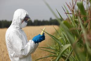 corn crop gmo toxic